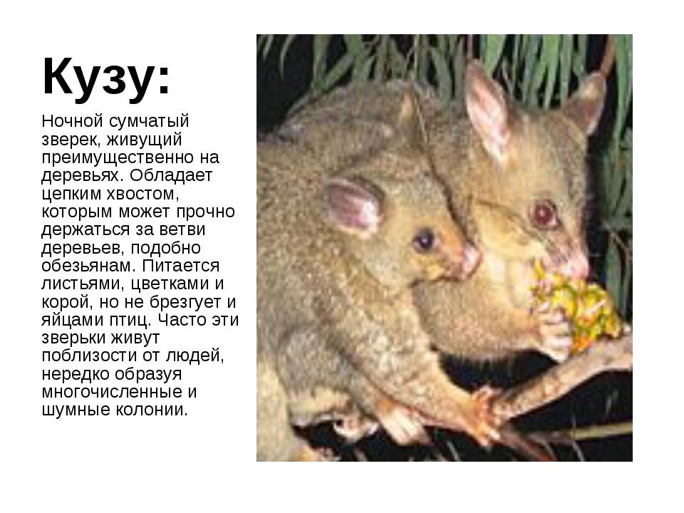 Кузу: Ночной сумчатый зверек, живущий преимущественно на деревьях. Обладает ц...
