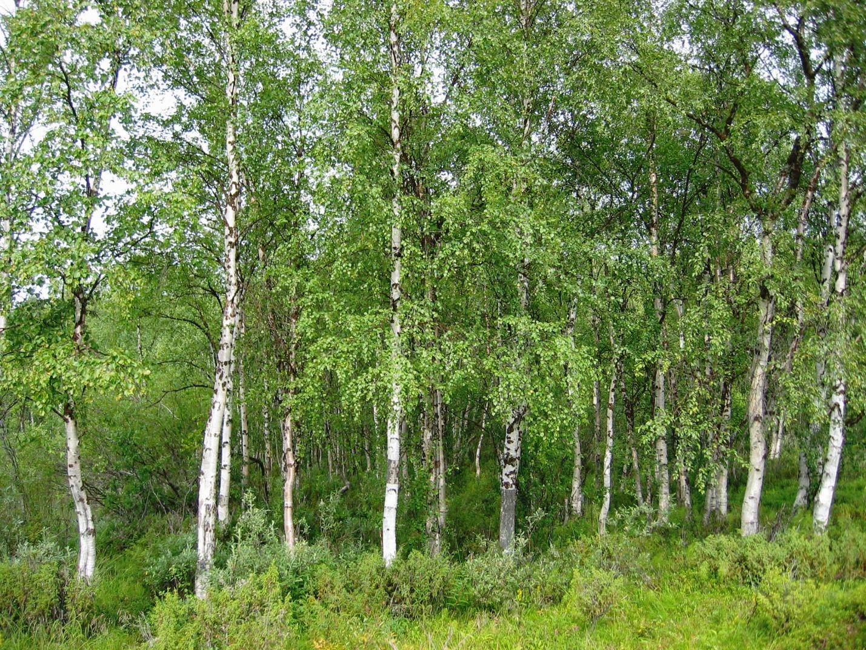 http://en.academic.ru/pictures/enwiki/66/Betula_pendula_Finland.jpg