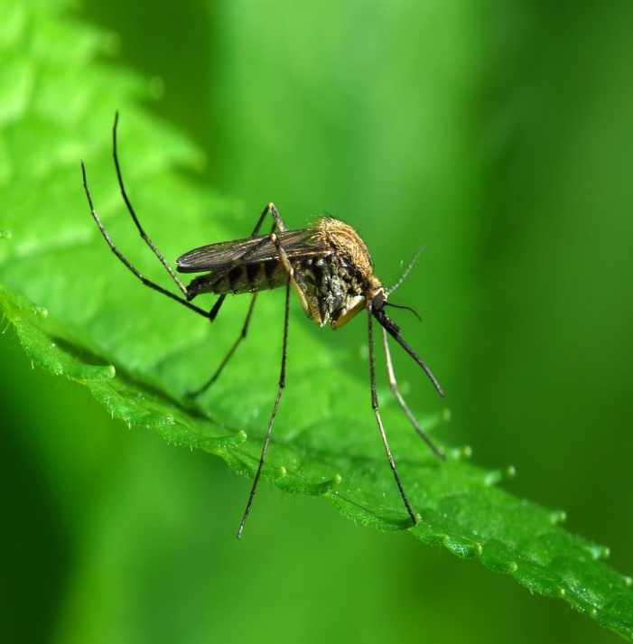 C:\Users\Андрей\Desktop\mosquito-squad-of-greater-birmingham-shows-a-mosquito-feeding-on-a-plant.jpg