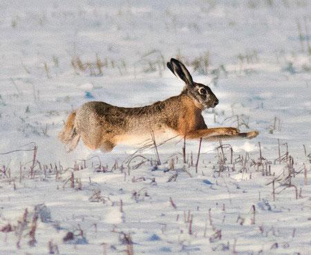 european-hare-8