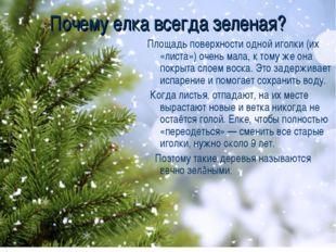Почему елка всегда зеленая? Площадь поверхности одной иголки (их «листа») оче