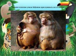Древние египтяне учили бабуинов прислуживать им за столом.