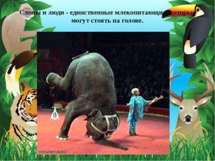 Слоны и люди - единственные млекопитающие, которые могут стоять на голове.