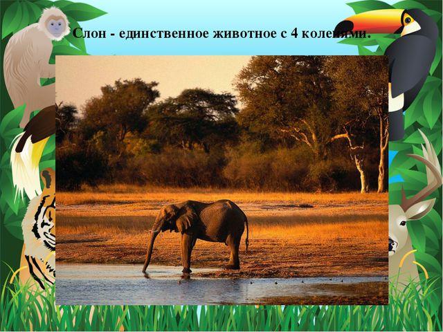 Слон - единственное животное с 4 коленями.
