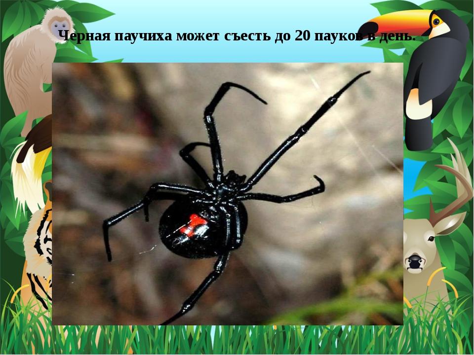 Черная паучиха может съесть до 20 пауков в день.