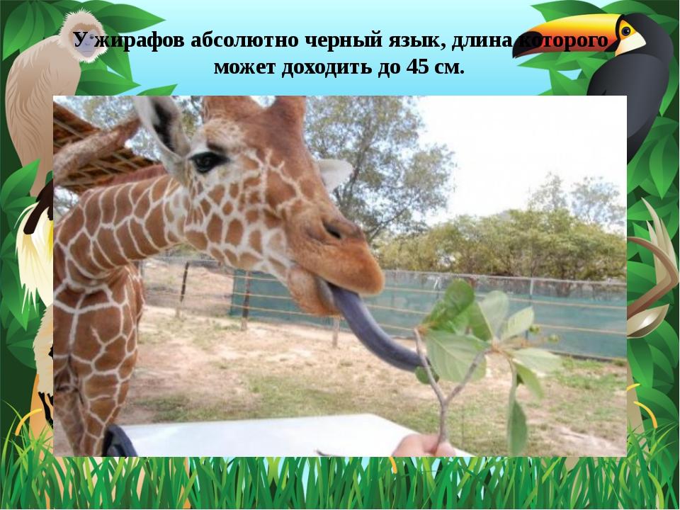 У жирафов абсолютно черный язык, длина которого может доходить до 45 см.