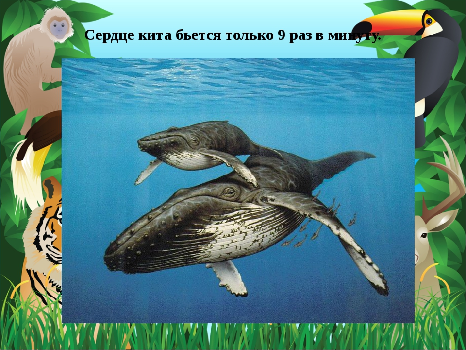 Сердце кита бьется только 9 раз в минуту.