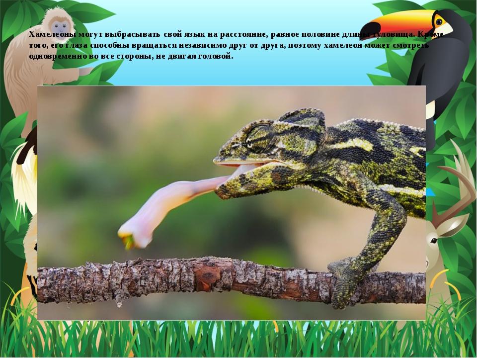 Хамелеоны могут выбрасывать свой язык на расстояние, равное половине длины т...