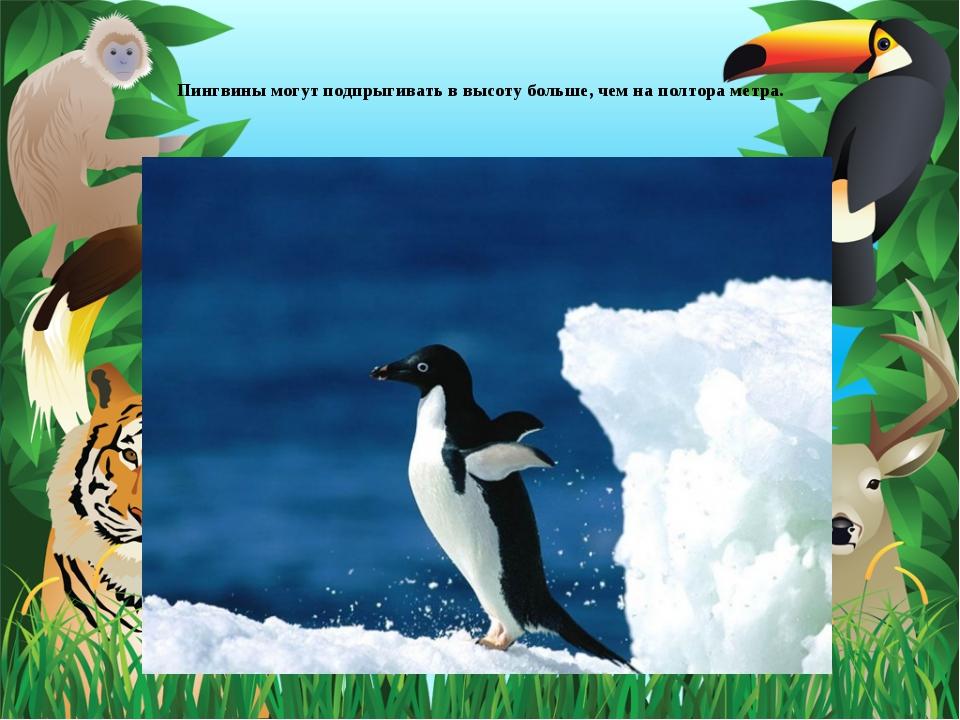Пингвины могут подпрыгивать в высоту больше, чем на полтора метра.