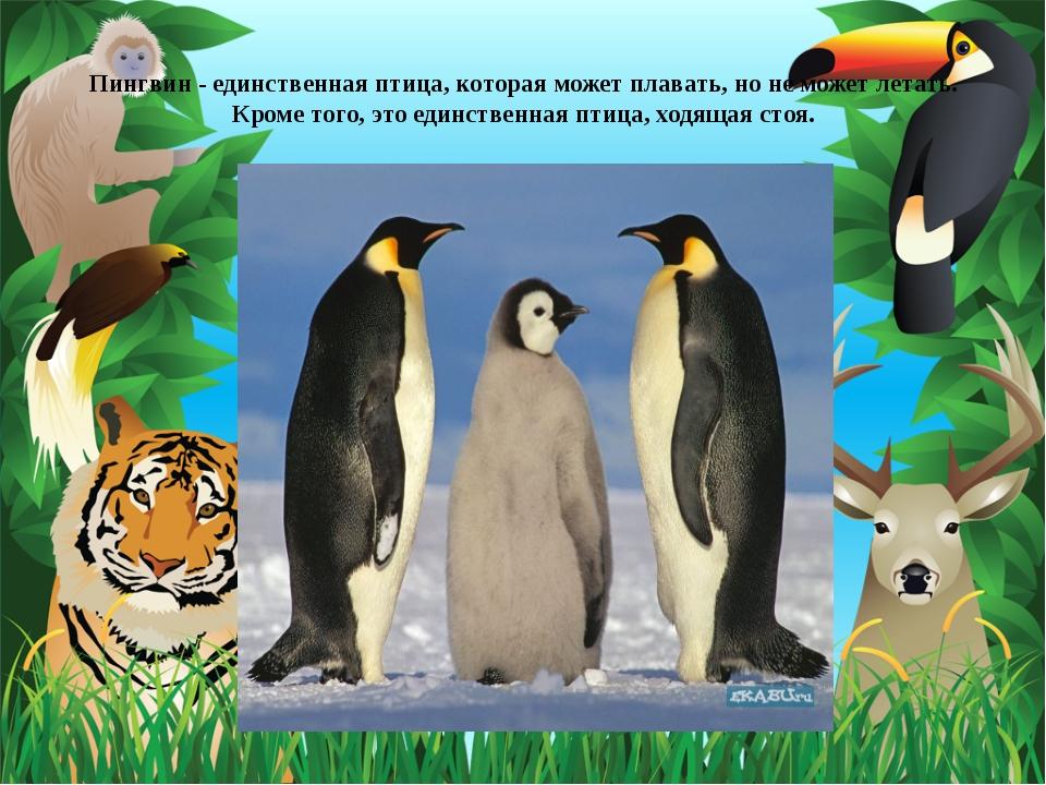 Пингвин - единственная птица, которая может плавать, но не может летать. Кро...