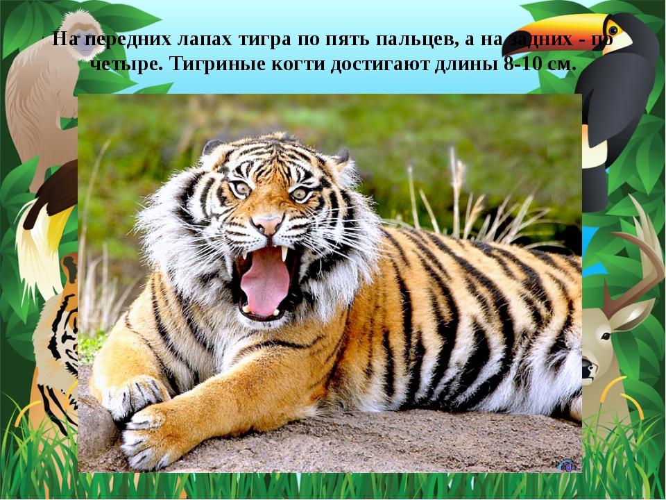 На передних лапах тигра по пять пальцев, а на задних - по четыре. Тигриные ко...