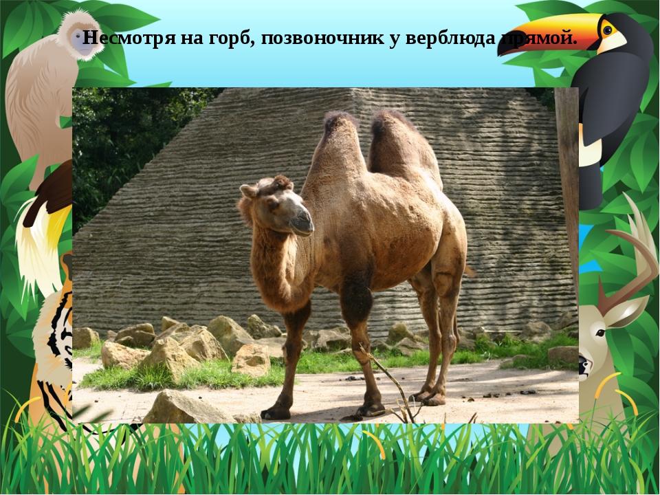 Несмотря на горб, позвоночник у верблюда прямой.