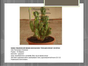 Цереус перувианский (форма монстрозная) / Cereusperuvianusf. monstrosa Сем. К