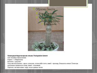 Пахиподиум Мадагаскарская пальма / Pachypodium lamerei Сем. Кутровые (Apocy