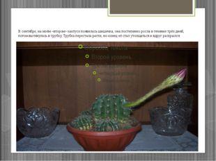 В сентябре, на моём «втором» кактусе появилась шишечка, она постепенно росла