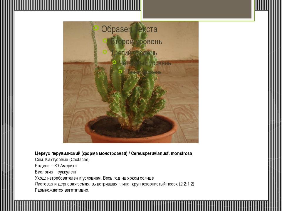 Цереус перувианский (форма монстрозная) / Cereusperuvianusf. monstrosa Сем. К...