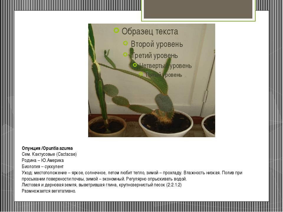 Опунция/Opuntia azurea Сем. Кактусовые (Cactacae) Родина – Ю.Америка Биолог...