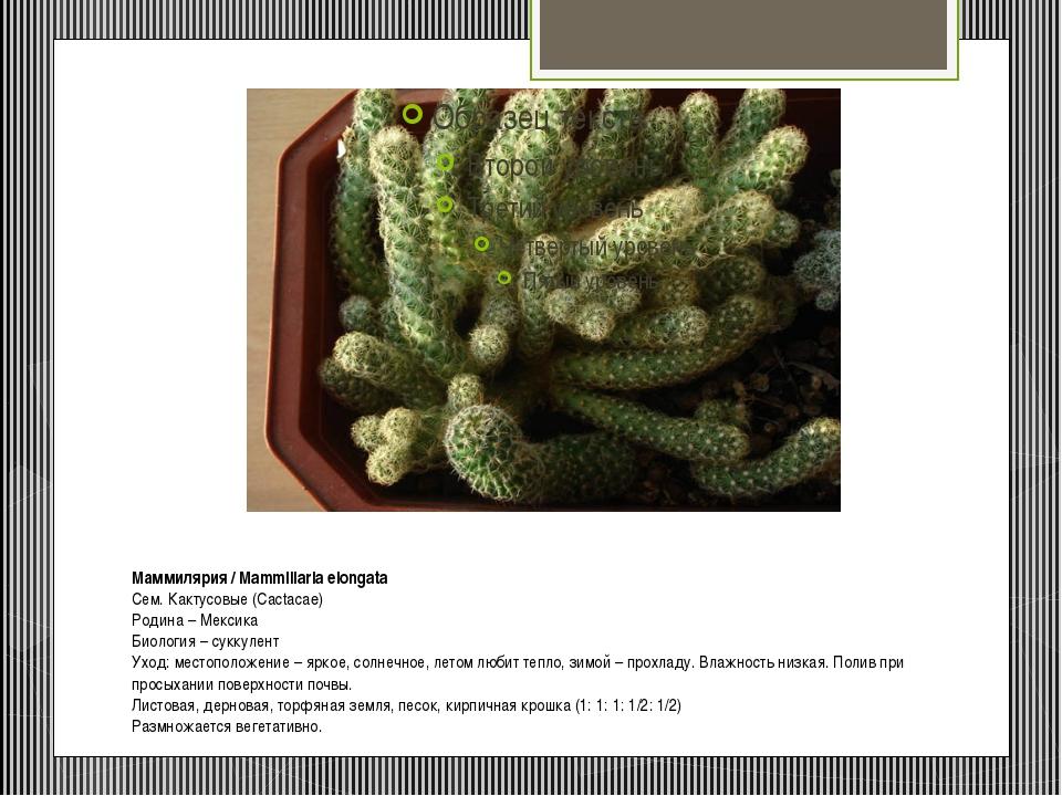 Маммилярия/ Mammillaria elongata Сем. Кактусовые (Cactacae) Родина – Мексик...