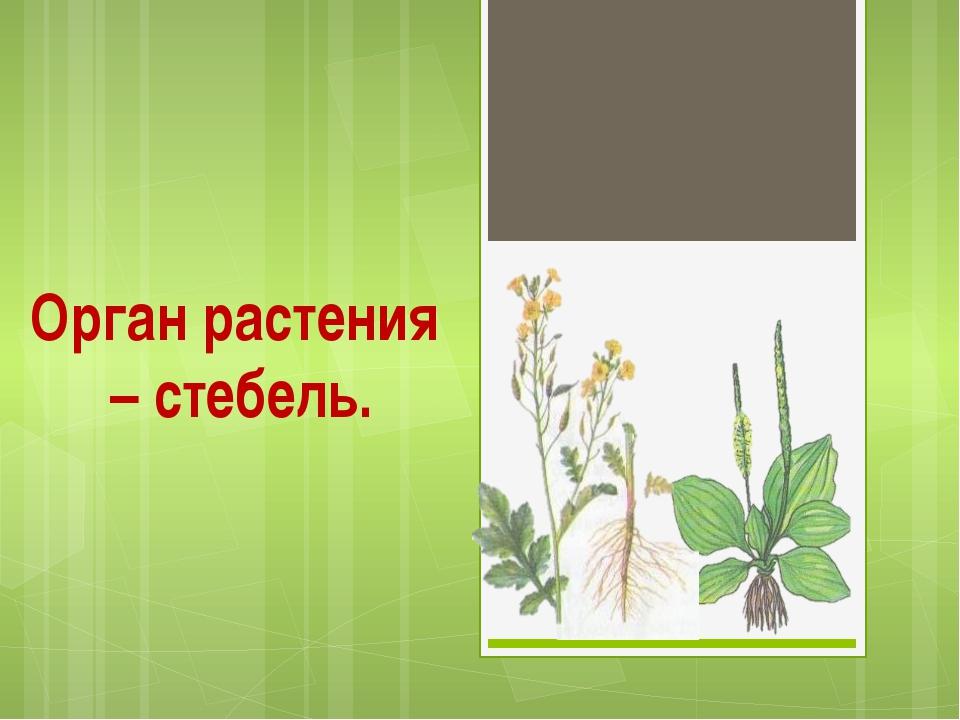 Орган растения – стебель.