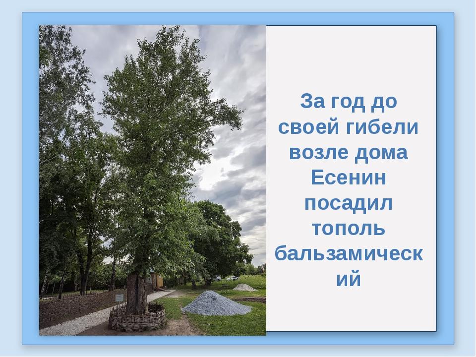 За год до своей гибели возле дома Есенин посадил тополь бальзамический