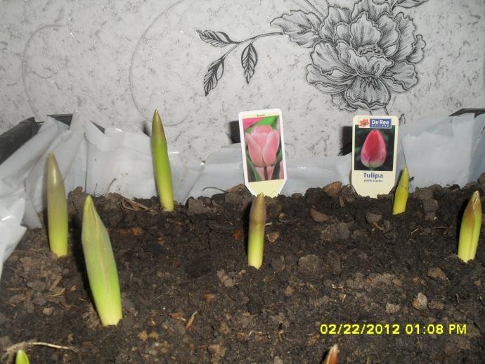 E:\проект Тюльпаны\тюльпаны Наташа\SDC14835.JPG
