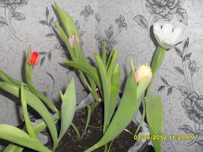E:\проект Тюльпаны\тюльпаны Наташа\SDC14870.JPG