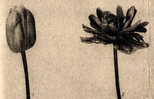 Рис. 12. Форма цветков тюльпанов: 1 — овальная; 2 — пионовидная, или махровая