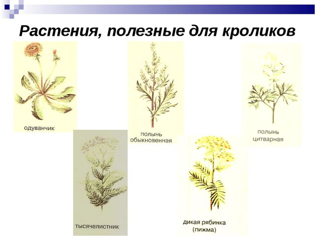Растения, полезные для кроликов
