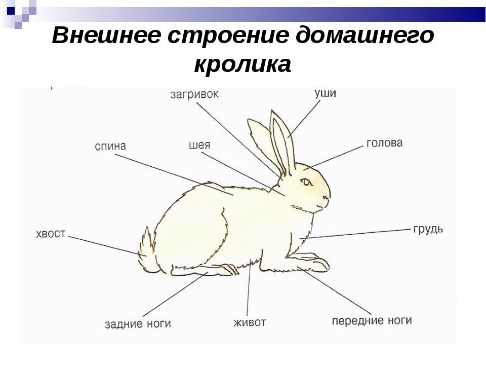 схема декоративный кролик