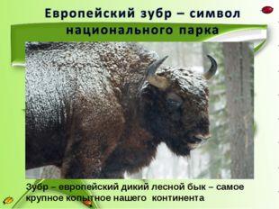 Зубр – европейский дикий лесной бык – самое крупное копытное нашего континента