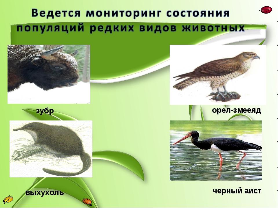 выхухоль зубр орел-змееяд черный аист