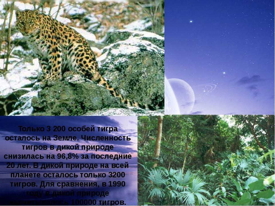 Только 3 200 особей тигра осталось на Земле. Численность тигров в дикой приро...