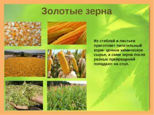Золотые зерна Из стеблей и листьев приготовят питательный корм- ценное химиче