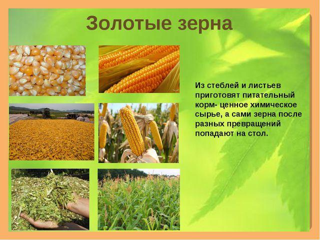 Золотые зерна Из стеблей и листьев приготовят питательный корм- ценное химиче...