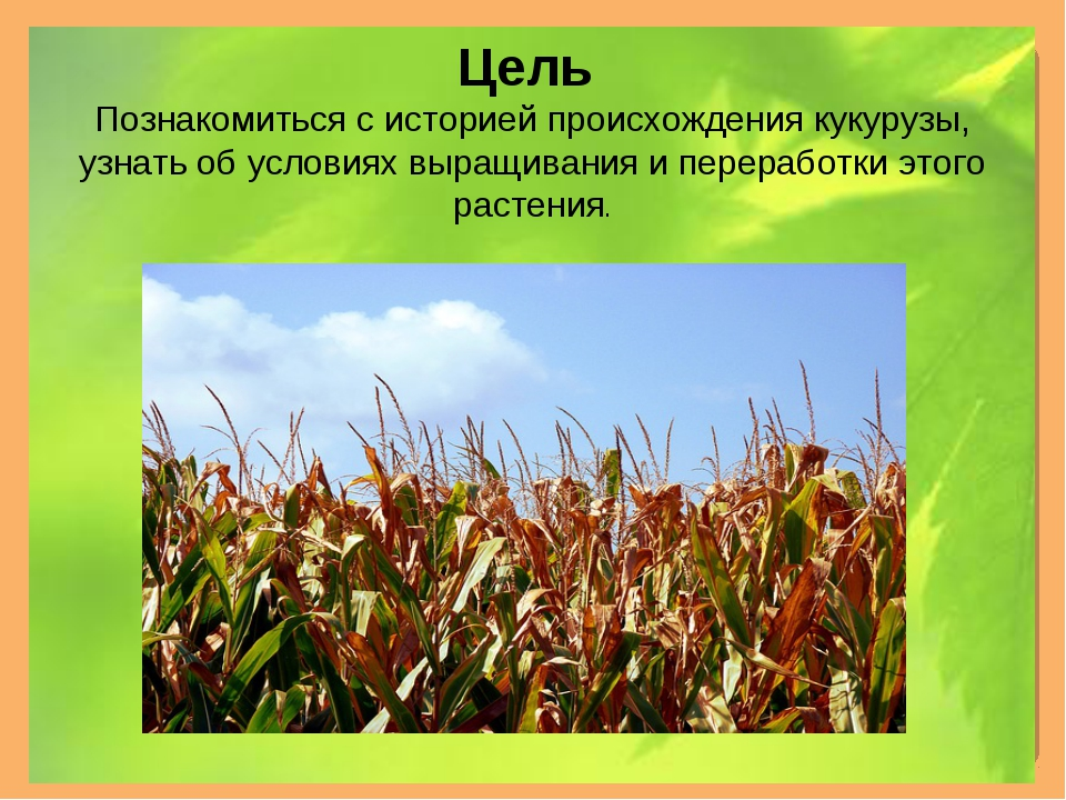Цель Познакомиться с историей происхождения кукурузы, узнать об условиях выра...