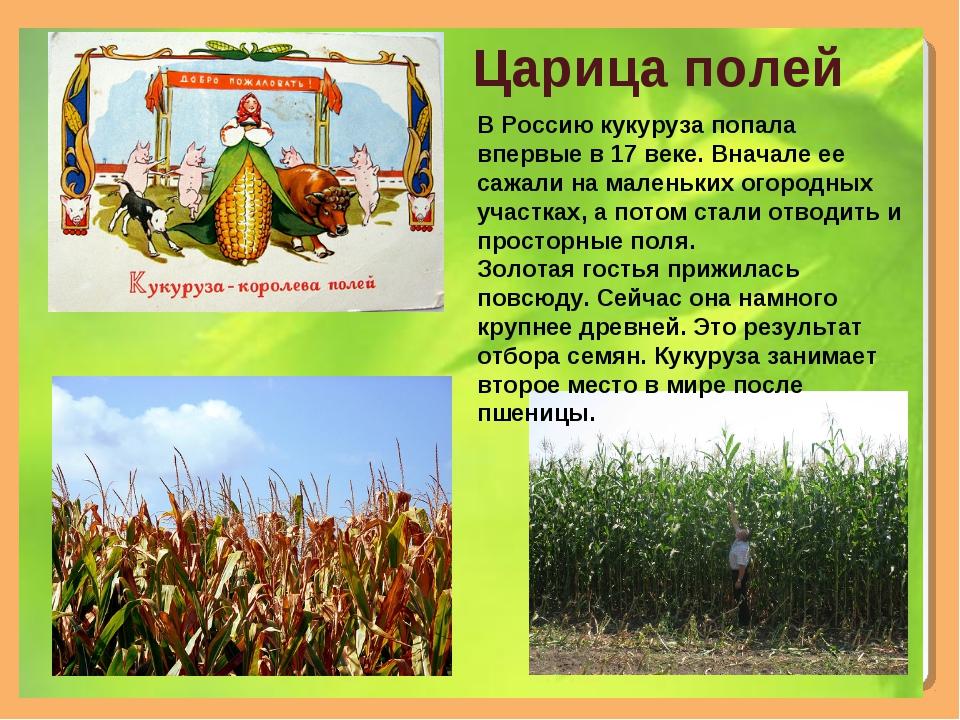 Царица полей В Россию кукуруза попала впервые в 17 веке. Вначале ее сажали на...