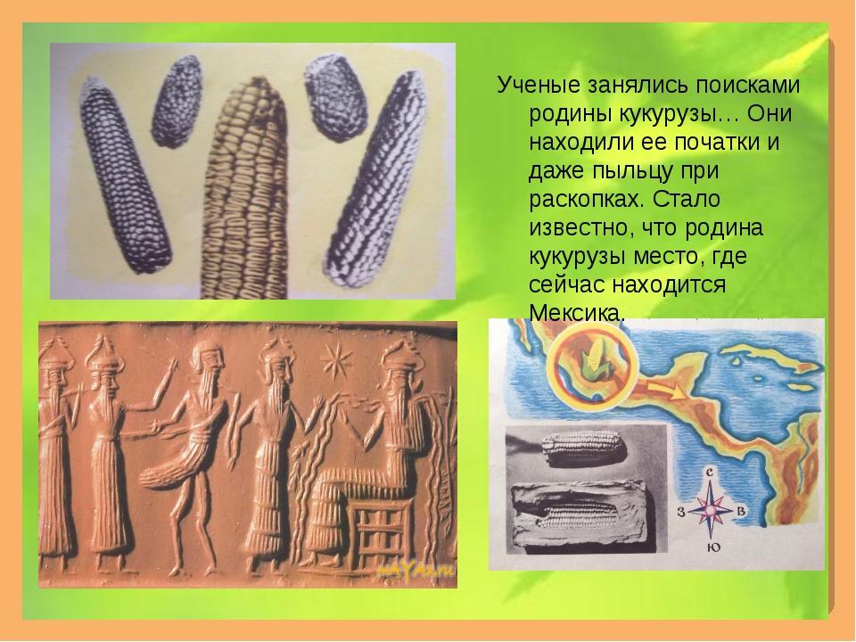 Ученые занялись поисками родины кукурузы… Они находили ее початки и даже пыль...
