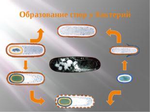 Образование спор у бактерий