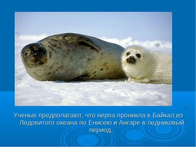 Ученые предполагают, что нерпа проникла в Байкал из Ледовитого океана по Енис...