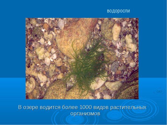 В озере водится более 1000 видов растительных организмов водоросли