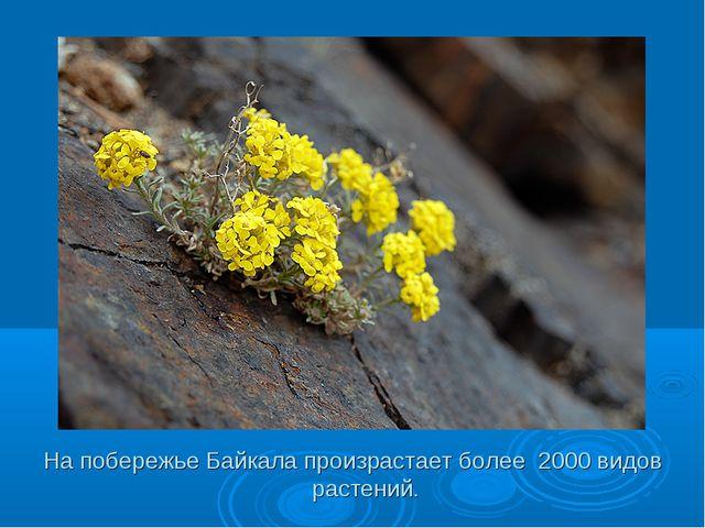 На побережье Байкала произрастает более 2000 видов растений.