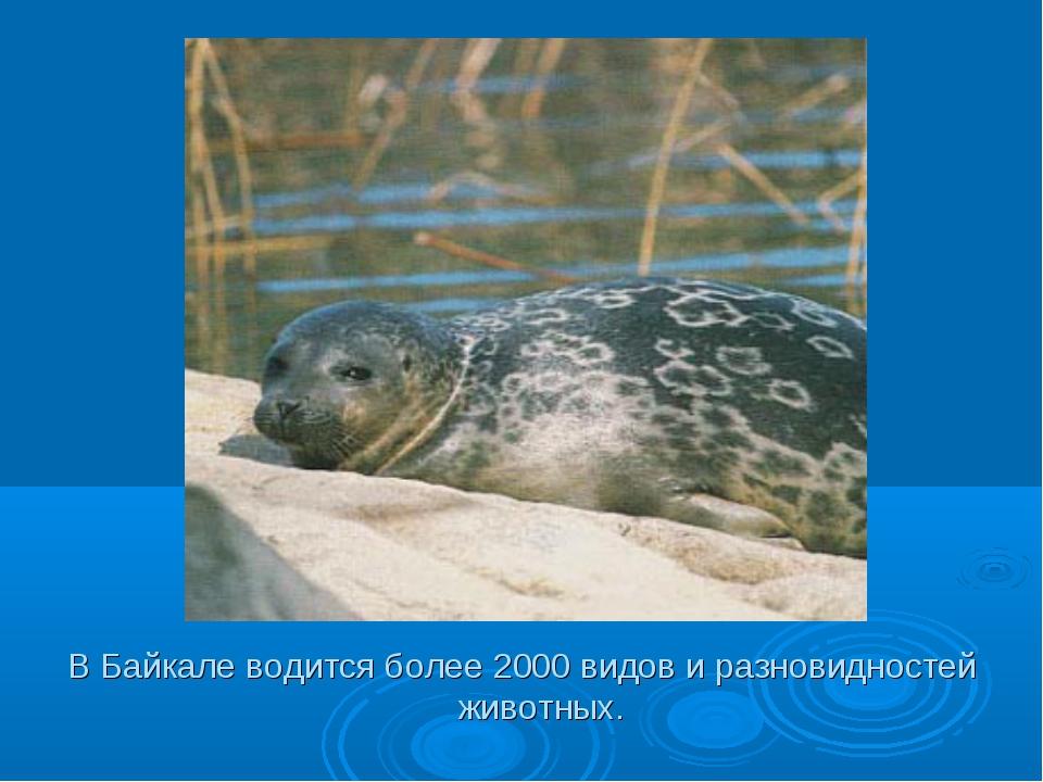 В Байкале водится более 2000 видов и разновидностей животных.