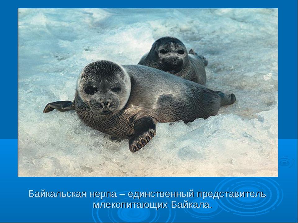 Байкальская нерпа – единственный представитель млекопитающих Байкала.