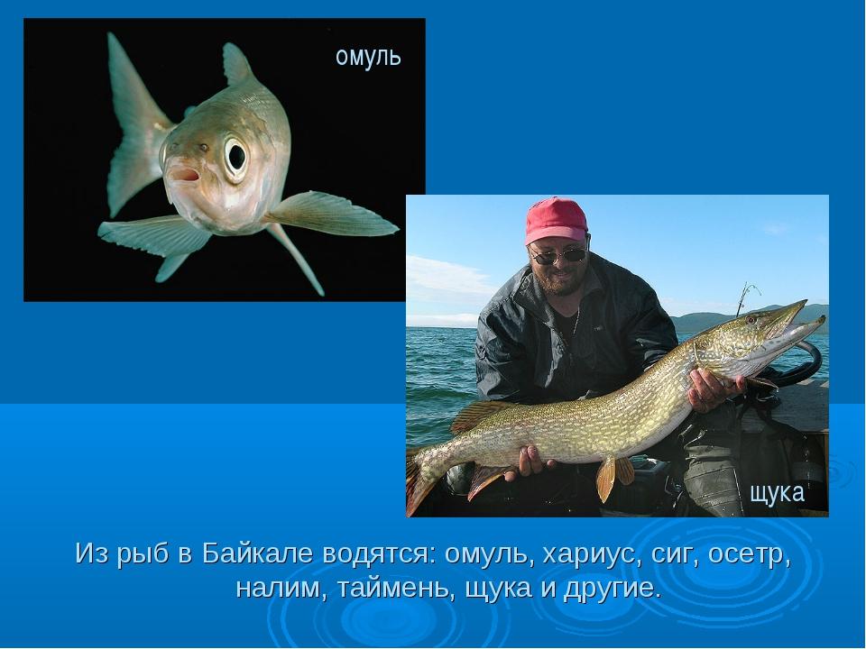 Из рыб в Байкале водятся: омуль, хариус, сиг, осетр, налим, таймень, щука и д...