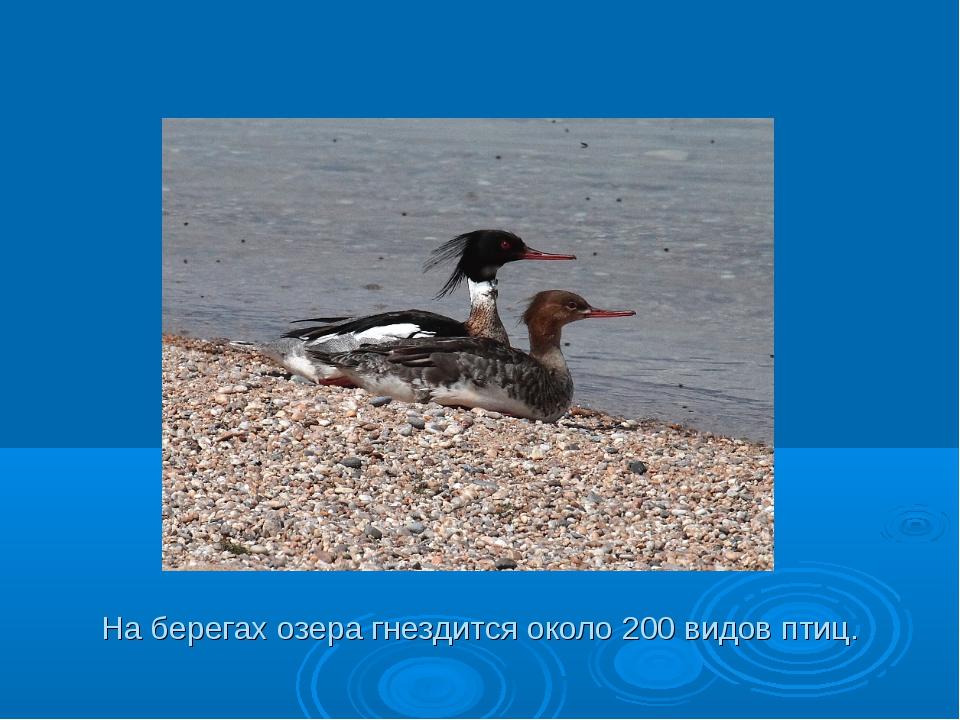 На берегах озера гнездится около 200 видов птиц.