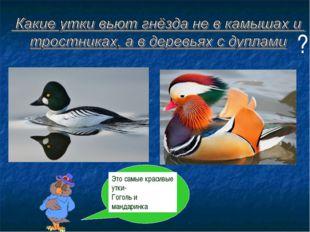Это самые красивые утки- Гоголь и мандаринка ?