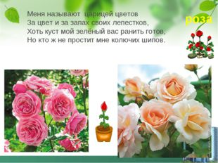 Меня называют царицей цветов За цвет и за запах своих лепестков, Хоть куст мо