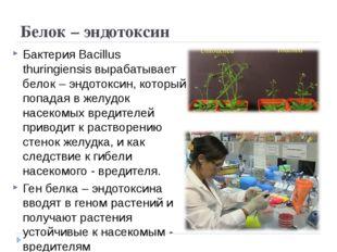 Белок – эндотоксин Бактерия Bacillus thuringiensis вырабатывает белок – эндот