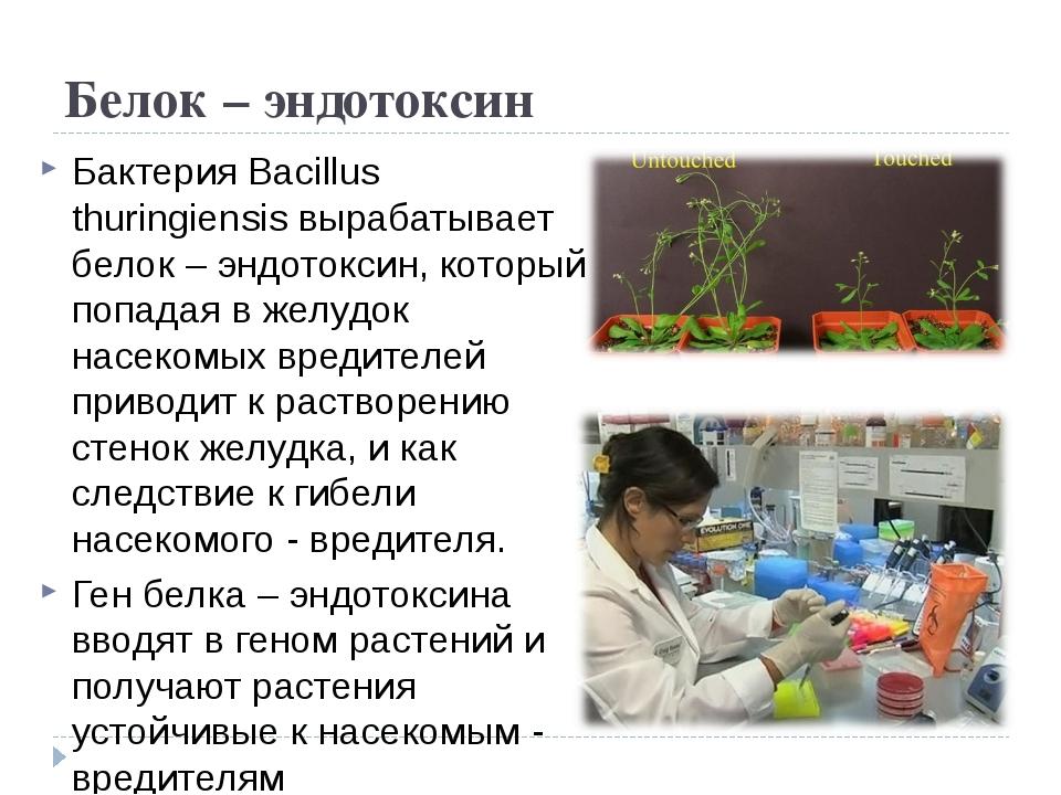 Белок – эндотоксин Бактерия Bacillus thuringiensis вырабатывает белок – эндот...