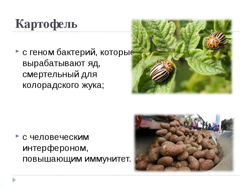 Картофель с геном бактерий, которые вырабатывают яд, смертельный для колорадс...